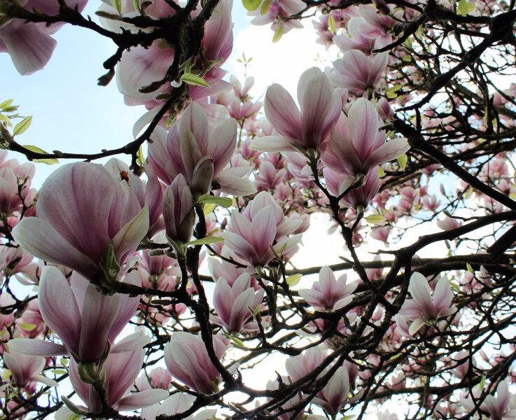 magnolia soulangeana (3) (Copier)