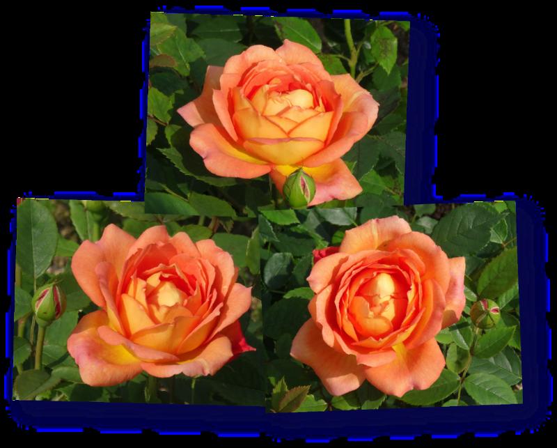 rosier lady of shalott