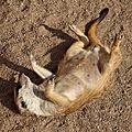 J'ai rêvé que j'étais un suricate… !