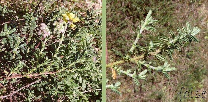 rameaux ascendants feuilles oblongues-lancéolées ou linéaires velues
