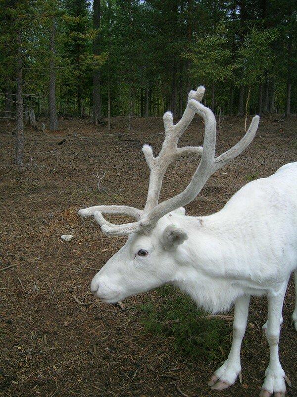 Bizarre : un renne albinos