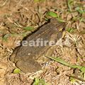rancho timanu_litter toad
