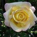 La rose en mon jardin