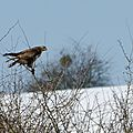 Buse variable - buteo buteo (11)