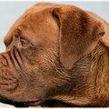dogue_de_bordeaux