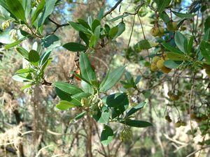 Branche d'arbousier