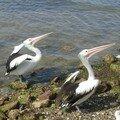 Pelicans a Kingscote.