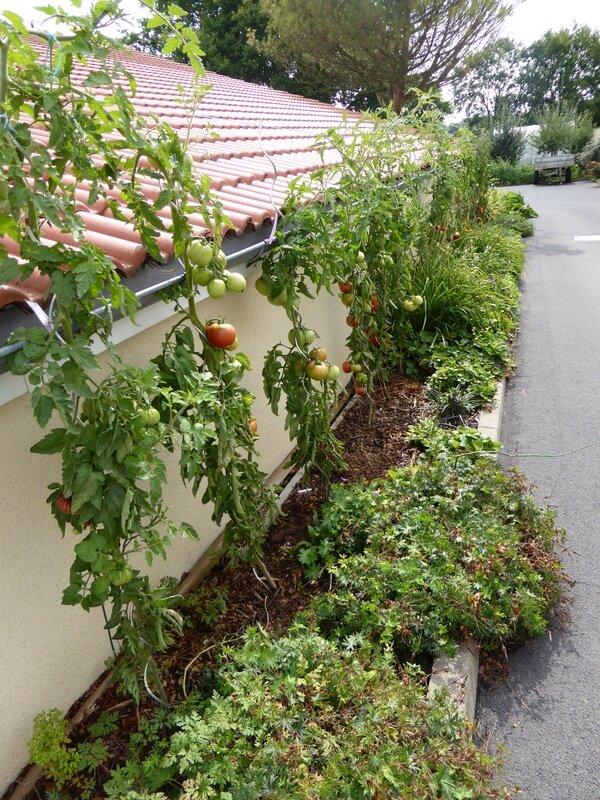 9-tomates-fraises (5)