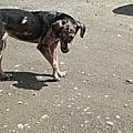 Chien en démodécie sévère sur une plage Caraïbes