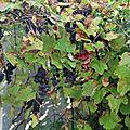 Une annee avec la vigne au potager !