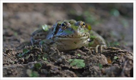 Roussille_mare_grenouille_100_face_3_220809