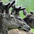 Les jeunes cerfs du Domaine de Ciran (45)