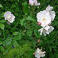 Une pluie de roses (suite et fin).