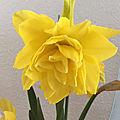 Narcisse-jonquille