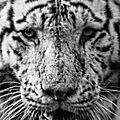 tigre du bengale pessac2