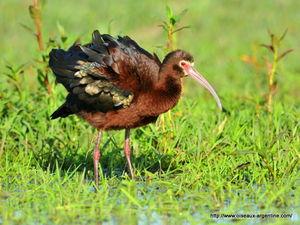 ibis__7_