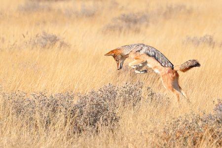 Chacal à chabraque en chasse, parc d'Etosha, Namibie b