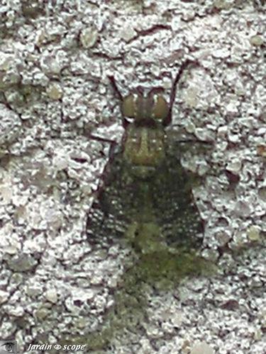 Platystoma parietina • Diptere, Platystomatidae
