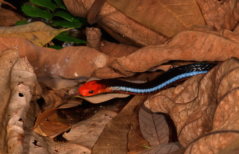 Blue_Malayan_Coral_Snake_from_Singapore