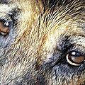 J'aime les yeux du loup