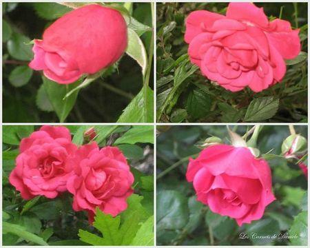 Roses fuschias