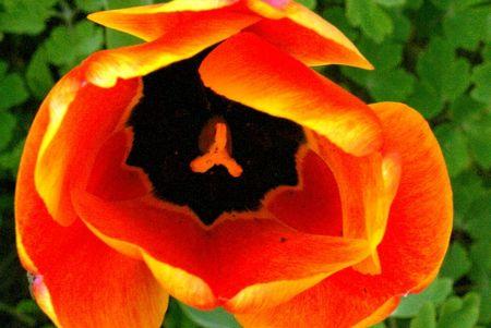 coeur_de_tulipe__640x428_