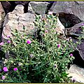 Fleurs de roches . ( 1/2 )