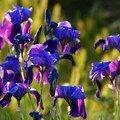 Les iris de ma voisine