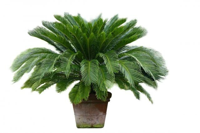 616654-cycas-japon-couramment-cultive-comme