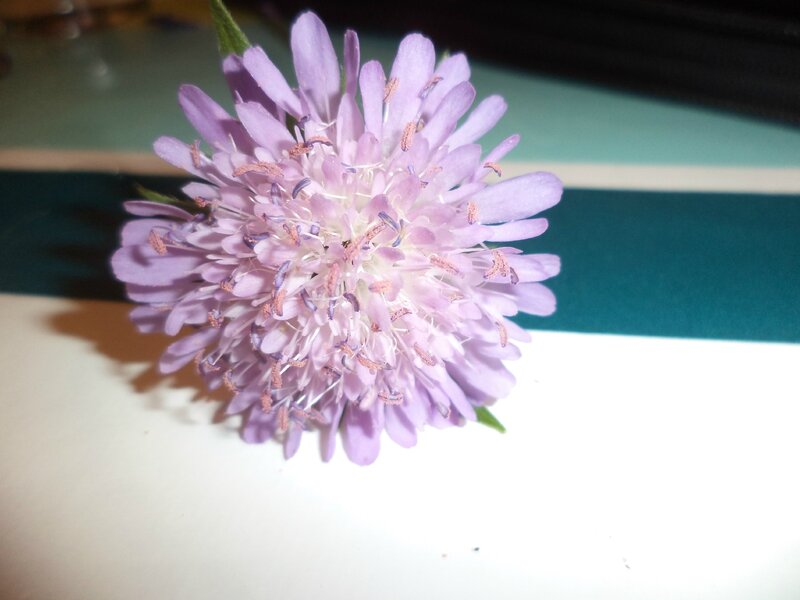 fleur des pyrénées la scabieuse