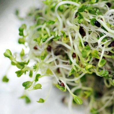 brocolis pousses