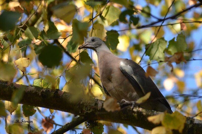 Pigeon ramier (Columba Columbus)