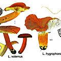 IH2 pl 88 Lactarius volemus hygrophoroides