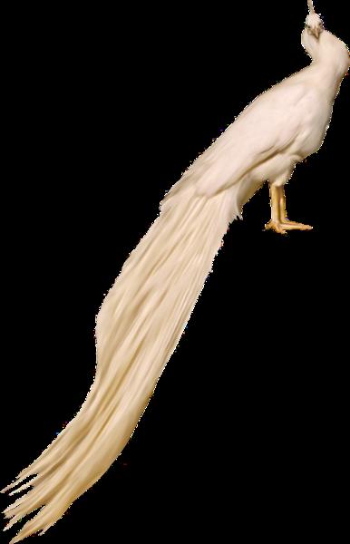 oiseau_paon_blanc