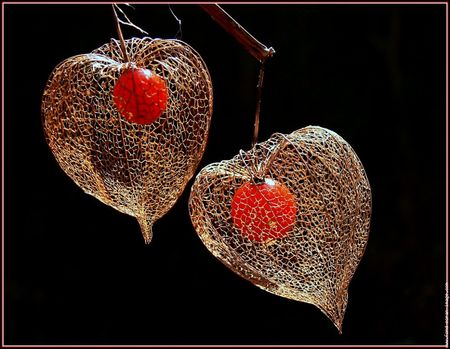 amour_en_cage_physalis_solanacee