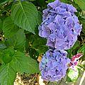 Jolis hortensias