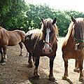 les chevaux de trait