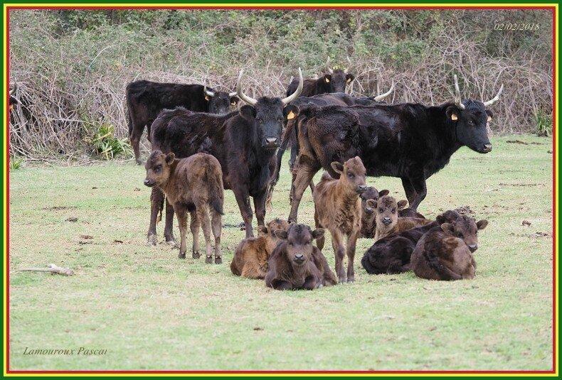 Vache N°843 - N°845 - veaux-border