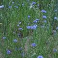 2008 06 26 Des bleuet