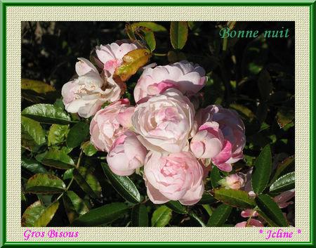 rose_pompon_2010_08_31_20_