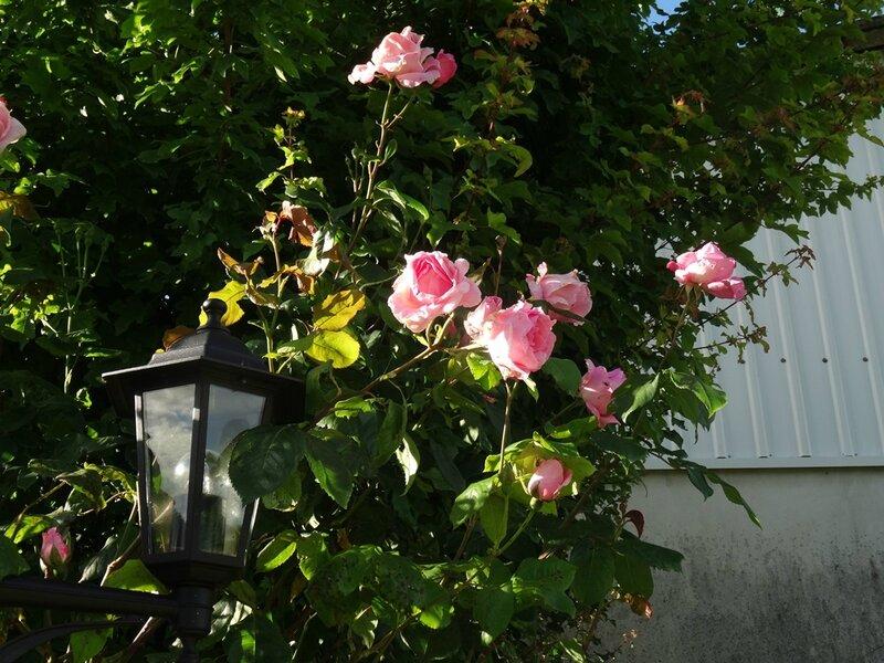 rosier du massif du robinet
