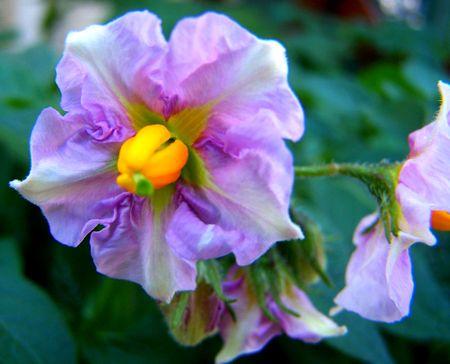 fleur_de_pomme_de_terre1