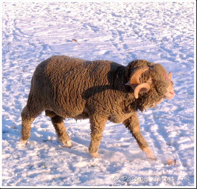 Moutons de Mérinos (2)