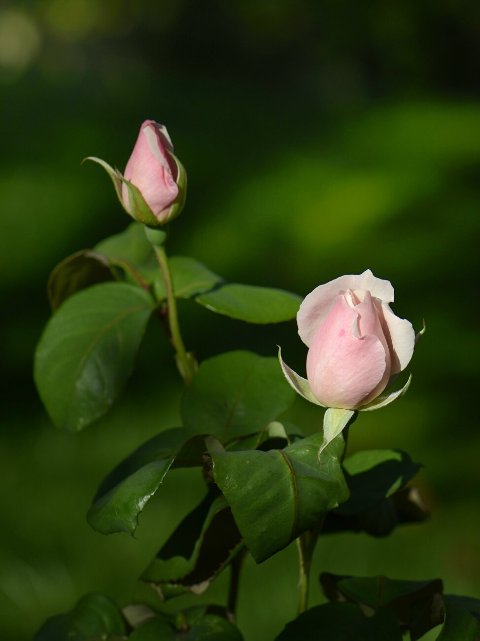 Boutons rose 1 21-11-14