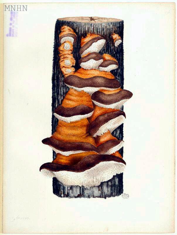 p 105 polypore [Trametes odorata], 9bre 1893 Jean-Henri FABRE