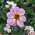Dahlia Halo (Label Rouge)