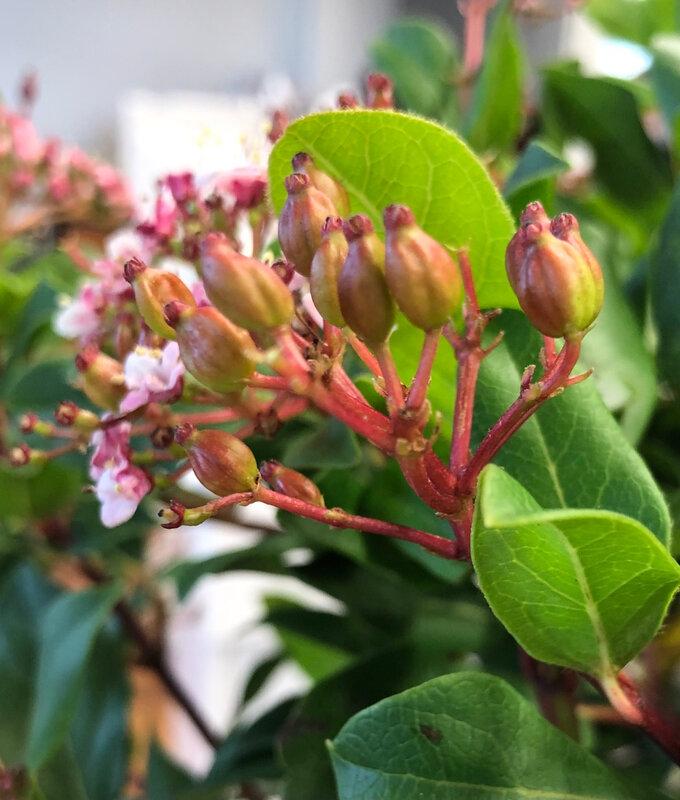 fruits de viburnum