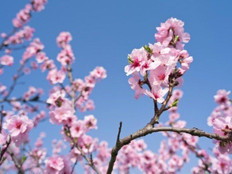 Comment-planter-un-cerisier-avant-l-hiver