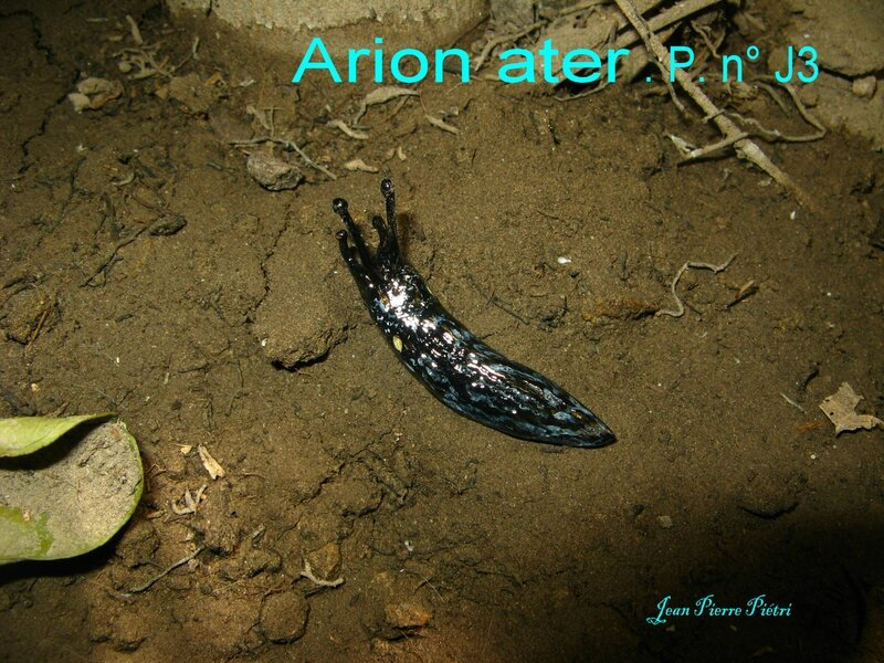Arion ater