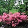 Rhododendron Azalea Grp 'Homebrush'